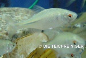 Die teichreiniger teichreinigung gartenteich pool for Teichfische shubunkin
